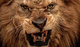 Dando Check Com Uma Ficha - Carne vermelha para um leão faminto